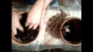 How to plant gladiolus in pot