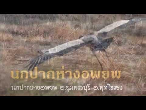 นกปากห่างอพยพ อ ชุมพลบุรี พุทไธสง 30 01 2558