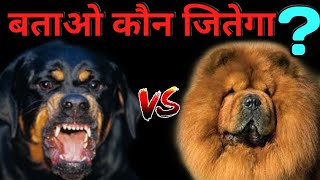 Rottweiler vs Chow Chow Who Win The Fight ?   Dogs Fights Chow Chow vs Rottweiler  Dogs Biography