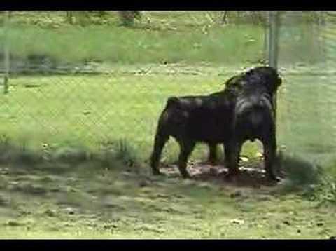 Zeus and Apollo My Rottweilers
