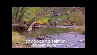 нерест чавычи,красная рыба,Spawning fish,chinook,king salmon,