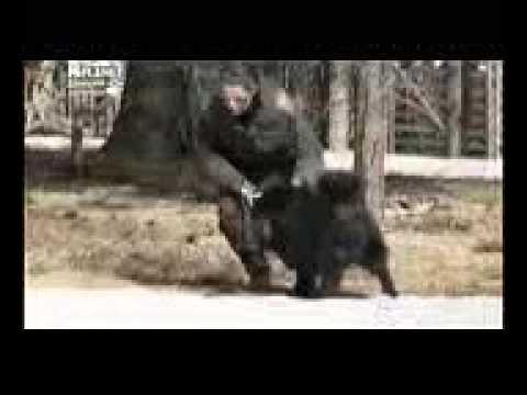 Шведская лопарская лайка, все породы собак, 101 dogs. Введение в собаковедение.