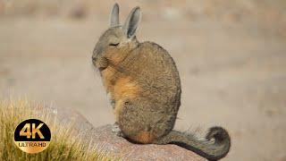 Zwierzęta Ameryki Południowej. Głosy i dźwięki. 4K Ultra HD