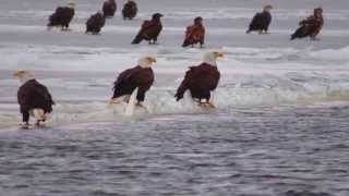 Bald eagles on the Mississippi River 1-4-14