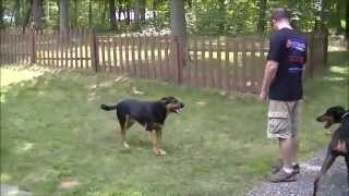 "Recall Under Heavy Distraction | 7 Month Old Dobermann ""apollo"" 