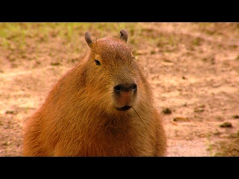 Capybara is the Worlds Largest Rodent - Cincinnati Zoo