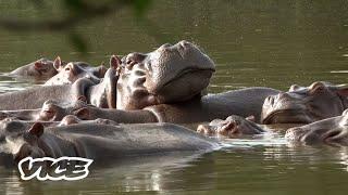 Podría ser necesario matar a los 'hipopótamos de la cocaína' de Pablo Escobar