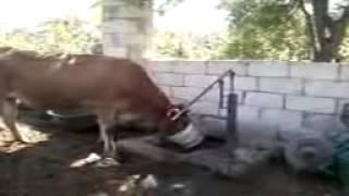 прикол супер корова в таджикистане