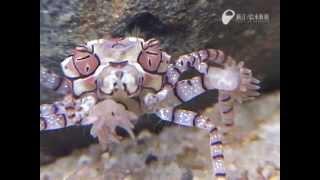 頑張れ!キンチャクガニ - A Cheerleader? No, Boxer Crab.