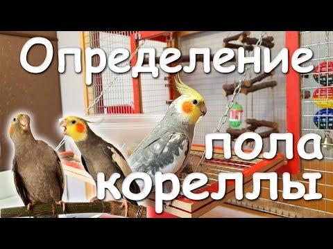 Как различить пол попугая корелла