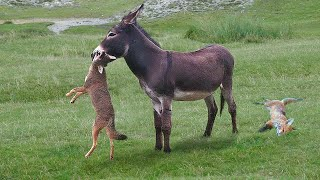 This Is Why Donkeys Kill Other Animals