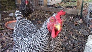 5 Benefits of having backyard chickens