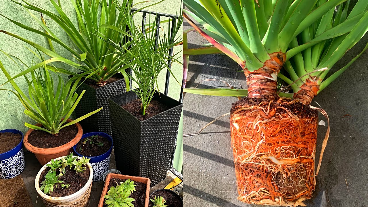 Presadjivanje Cveca - Palme od Semena Lunatube
