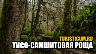 Тисо-самшитовая роща - Хостинский район Сочи.