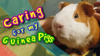 Caring For My Guinea Pigs
