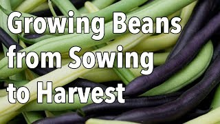 Growing Beans from Sowing to Harvest
