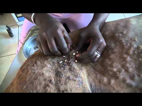 #Жесть | Собака заражена личинкой мухи. Африка.