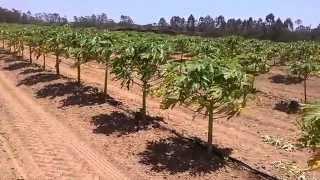 Resultado excelente de uso de Basacote PMAX 6M no plantio de Mamão Papaya