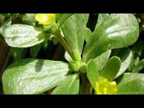 298. growing Purslane edible weed & Benefit of Purslane/kulfa by sadhna's terrace garden and home
