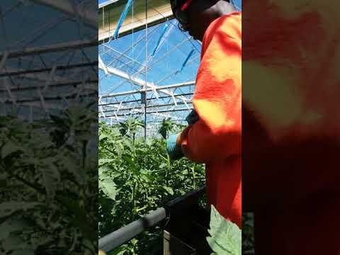 Intergrow greenhouses inc