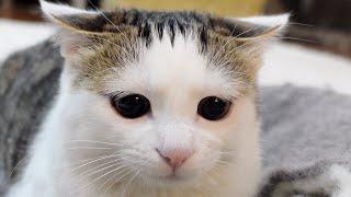 キラキラお目目の子ねことブラッシングを堪能するねこ。-Miri's shining eyes and Maru's brushing time!-