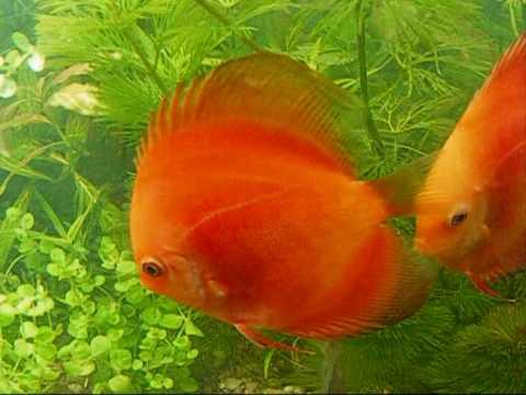 Diferentes variedades de peces discos en 300 litros youtube for Variedad de peces