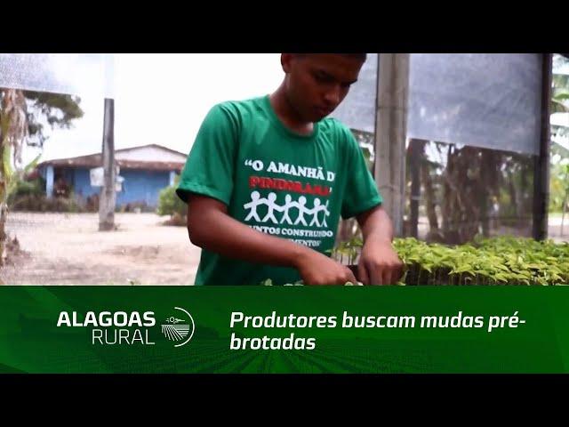 Produtores buscam mudas pré-brotadas de cana-de-açúcar na Cooperativa Pindorama