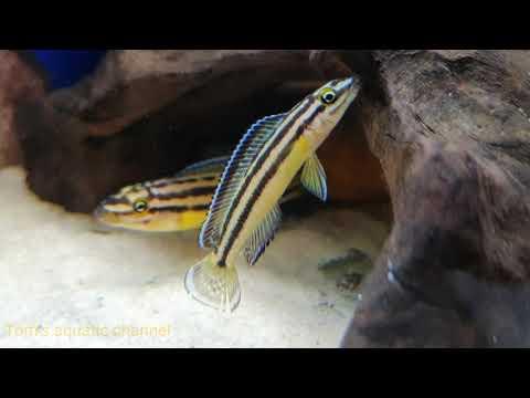 Julidochromis Regani Kipili F1 - Tom's Aquatic Channel