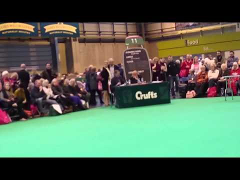 Crufts 2015 toy poodles