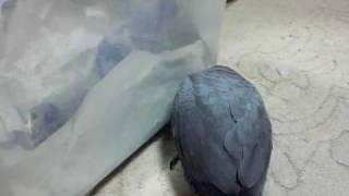 African Grey Parrot Baby ヨウム 雛 兄と弟たちBrothers