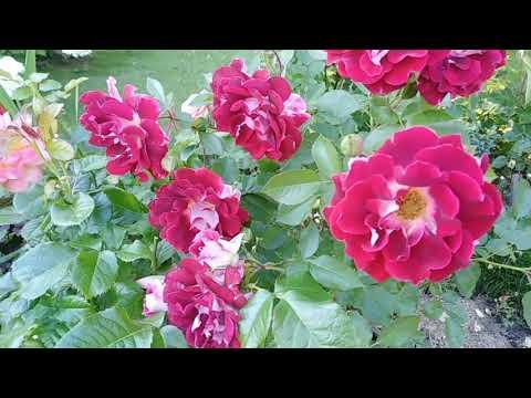Вопрос: Кружевные розы Ruffles, что это за розы?
