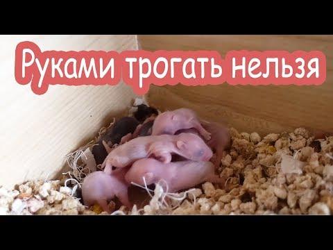 Уборка у новорожденных хомячков. Страшно.