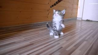 Норвежский лесной котенок Grant On Fashion Peak, 4 недели