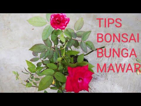 Cara Membonsai Bunga Mawar
