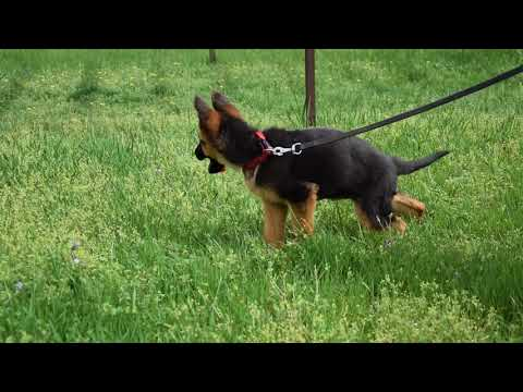German Shepherd puppies for sale by Euro Puppy