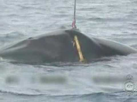 [Guardian] Graphic footage of Japanese whaling released