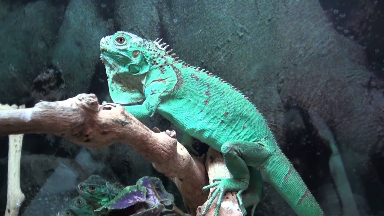 Blue Iguana For Sale : Blue iguanas for sale buy at big apple pet with same day shipping