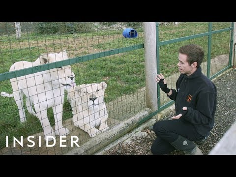 A Day In The Life Of A Keeper At A Big Cat Sanctuary
