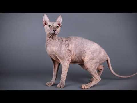 كل المعلومات عن اغلي واشرس واغرب قط في العالم القط المصر ي الفرعوني سفينكس Sphinx Cat Youtube