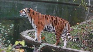 Tiger Paarung - Parung Bei Tieren | Paarung der Tiere