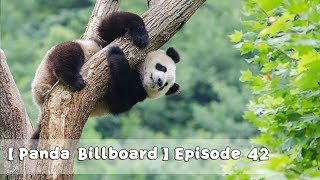 【Panda Billboard】Episode 42 | iPanda