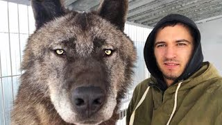 15 Largest Wolves You Won't Believe Actually Exist