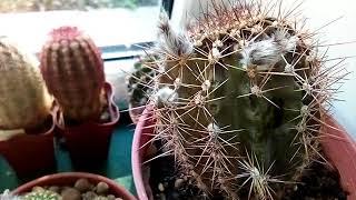 Как не заметно для нас погибают кактусы...🌵😦