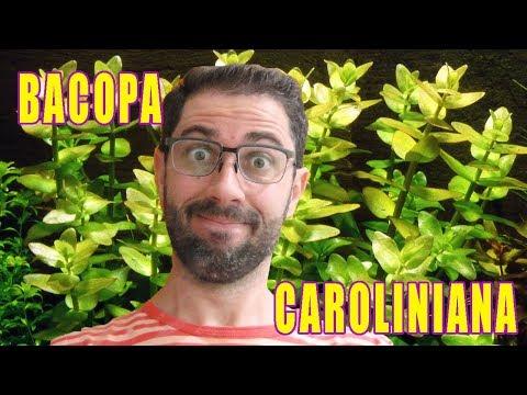 Como cuidar da planta Bacopa Caroliniana em um aquário