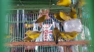 Burung Pleci Kacamata Muria Paling Diunggulkan