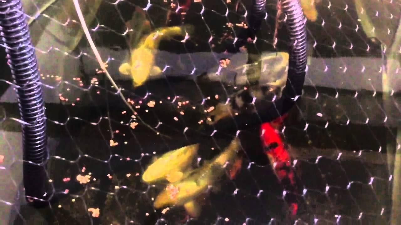 Diy Indoor 1000 Gallon Koi Holding Pond Shot With Under