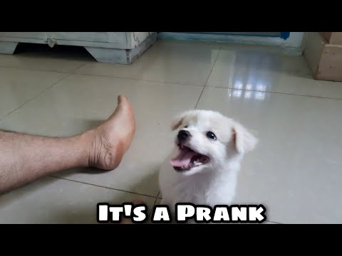 VLOG #:10 It's a Prank | Japanese Spitz | 2 months old Puppy