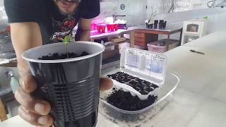 Replanting Pepper Seedlings Into Double Cup Method