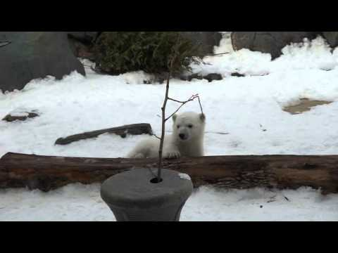 Adorable rato de juego de un oso polar bebé cautiva a la audiencia