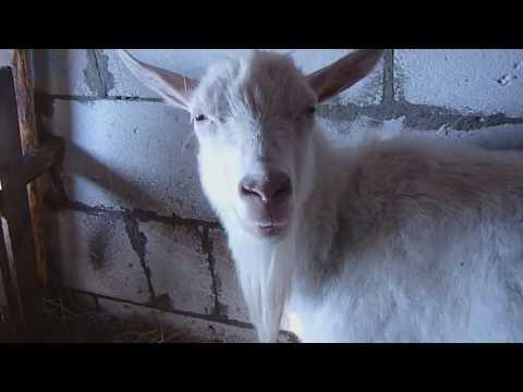 Кровяные выделения после родов у козы?